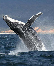 Whale Watching Sydney - Accommodation Redcliffe