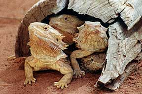 Alice Springs Reptile Centre - Accommodation Redcliffe