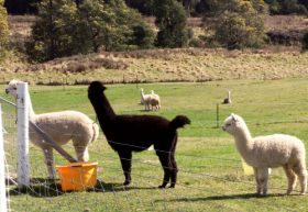 Maydena Country Cabins Accommodation  Alpaca Stud - Accommodation Redcliffe