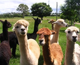 Banyandah Alpacas - Accommodation Redcliffe