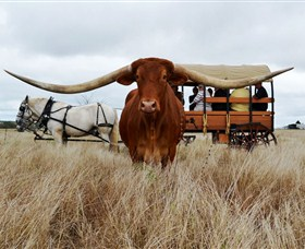 Texas Longhorn Wagon Tours and Safaris - Accommodation Redcliffe