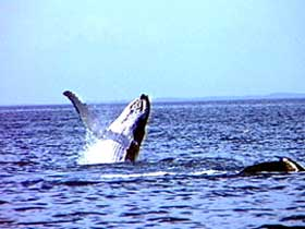 Whale Watching - Accommodation Redcliffe