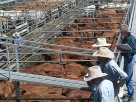 Dalrymple Sales Yards - Cattle Sales - Accommodation Redcliffe