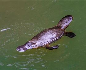 Platypus Viewing at Broken River - Accommodation Redcliffe