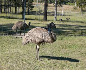 Glen Ian Ostrich and Emu Farm - Accommodation Redcliffe