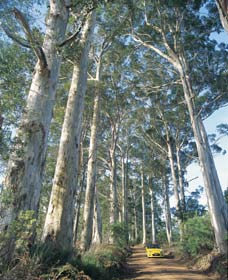 The Great Forest Trees Drive - Accommodation Redcliffe