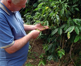 Wombah Coffee Plantation - Accommodation Redcliffe