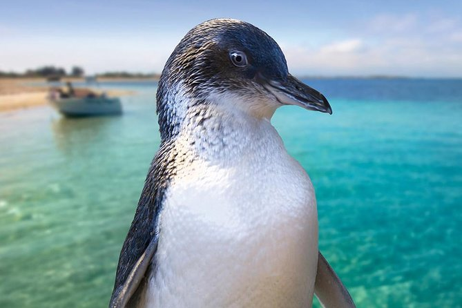 Full-Day Penguin Island  Fremantle Town - Accommodation Redcliffe