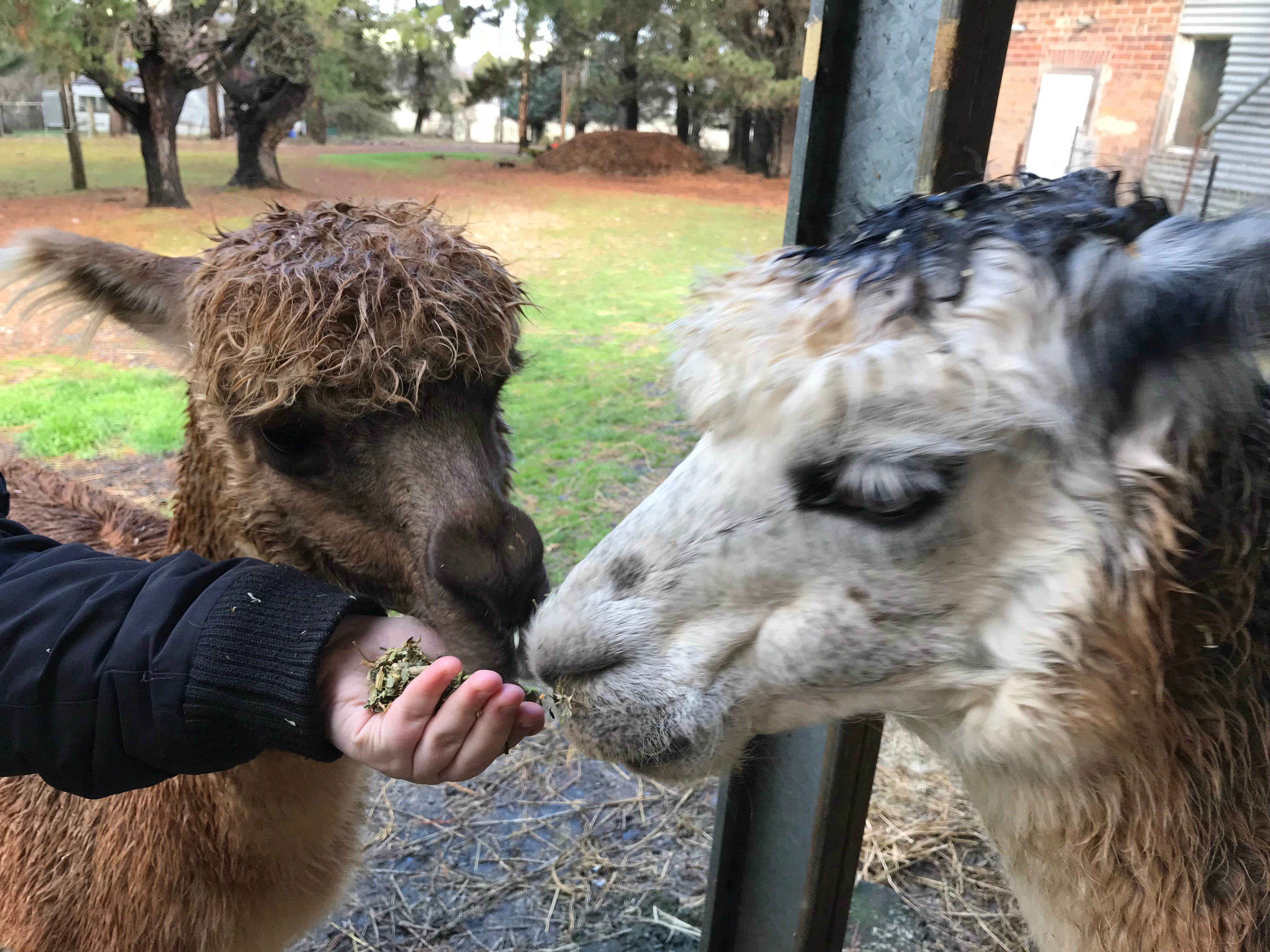 Alpaca Farm Experience at Crookwell - Accommodation Redcliffe