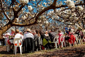 Young Cherry Blossom Long Lazy Lunch - Accommodation Redcliffe