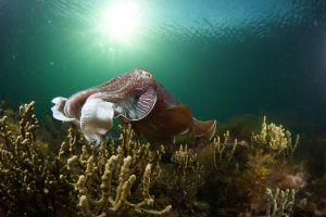 Cuttlefish Diving  Snorkeling EVERYDAY May -August - Accommodation Redcliffe